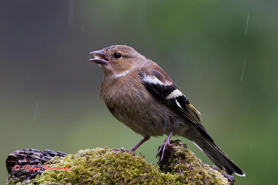 Female Chaffinch in the Rain