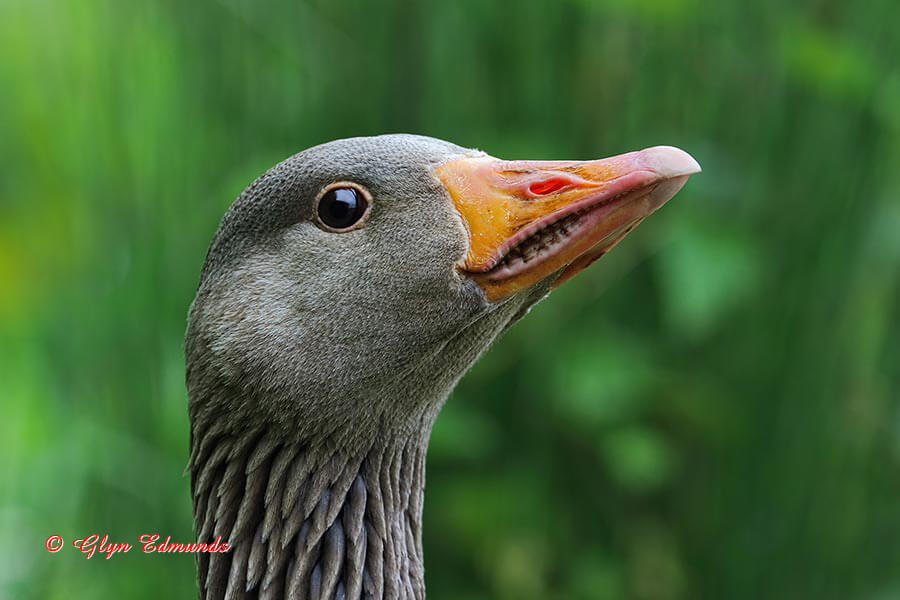 Greylag Goose Close-up