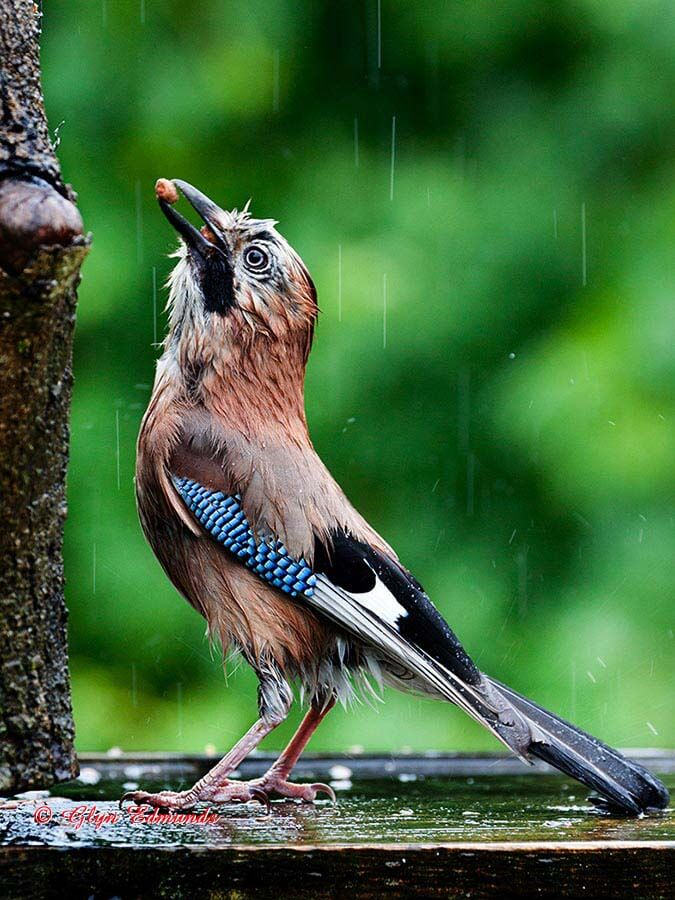 Jay Feeding in the Rain