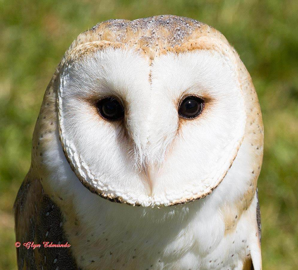 Portrait of a Barn Owl