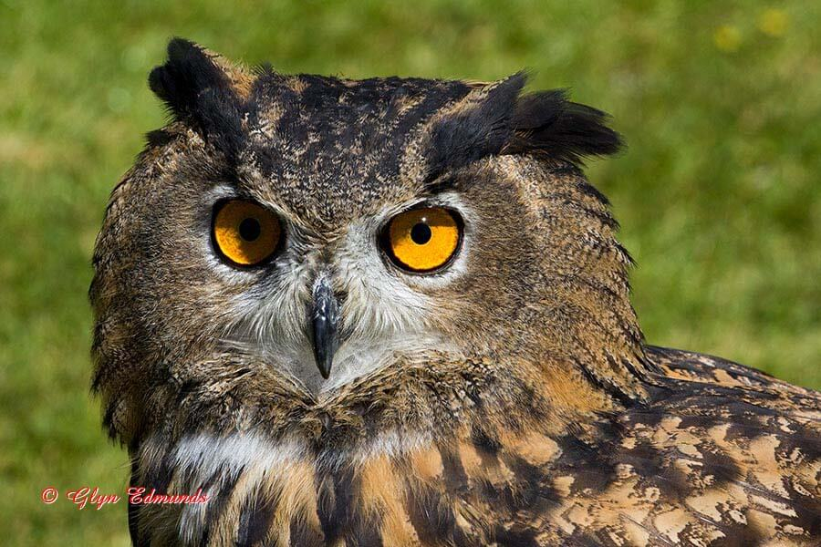Portrait of a European Eagle Owl