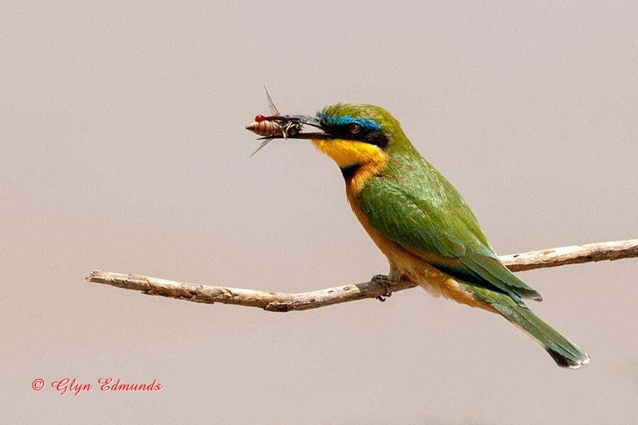 Swallow-tailed Bee-eater with Bee